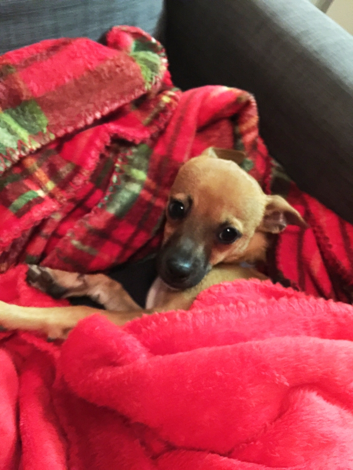 ollie-cuddling-in-the-christmas-blankets